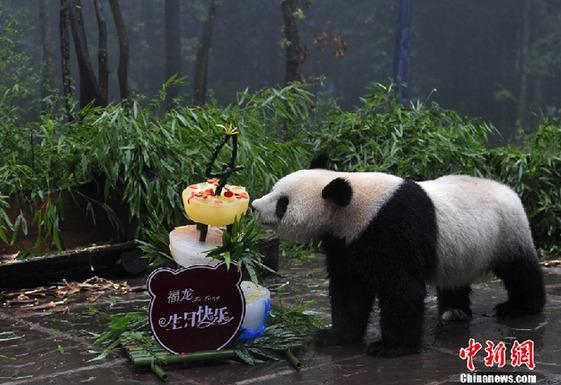 """cctv9英语新闻2011年08月:四川6只""""海归大熊猫""""集体过生日"""