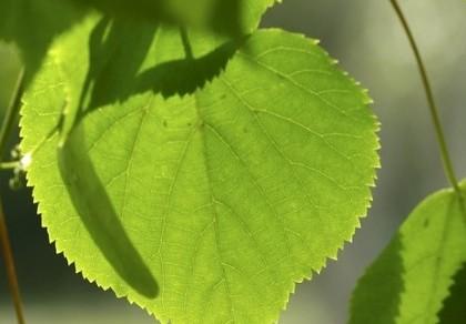 英语听力文摘601 树叶与太阳能板