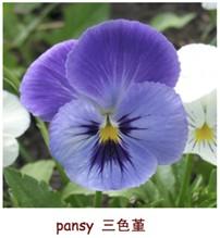 """pansy,叫做""""三色堇"""""""