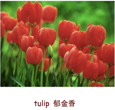 托福词汇:tulip 郁金香
