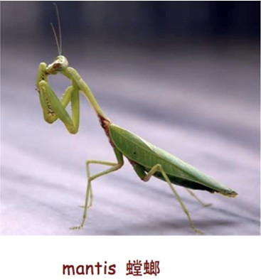 mantis,螳螂