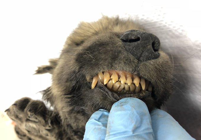 科学家:是狗还是狼?