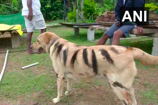 农民把狗画得像老虎,以保护农作物不受猴子的伤害