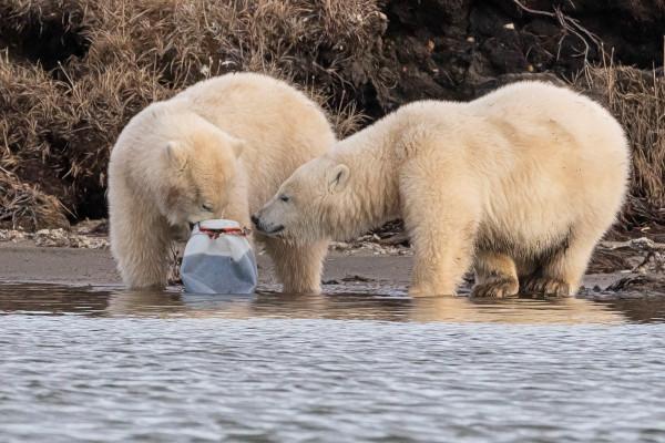 北极熊在令人心碎的照片里玩塑料垃圾
