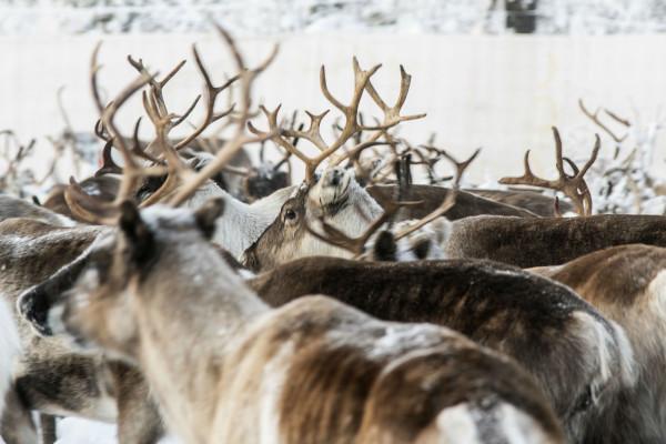 气候变化导致瑞典北极地区的驯鹿挨饿