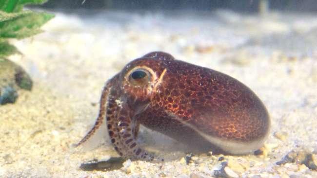 日本冲绳的热带水域发现短尾乌贼新物种