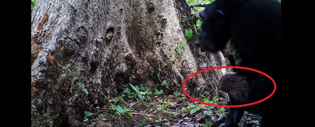 黑猩猩曾被发现向树扔石头和毫无理由地大喊大叫