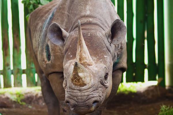 世界最老犀牛福斯塔去世,享年57岁