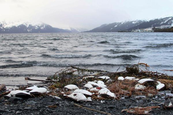 一团太平洋海水是如何杀死100万只海鸟的