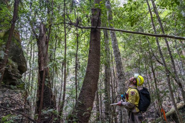 澳大利亚消防员拯救了世界上唯一稀有的恐龙树