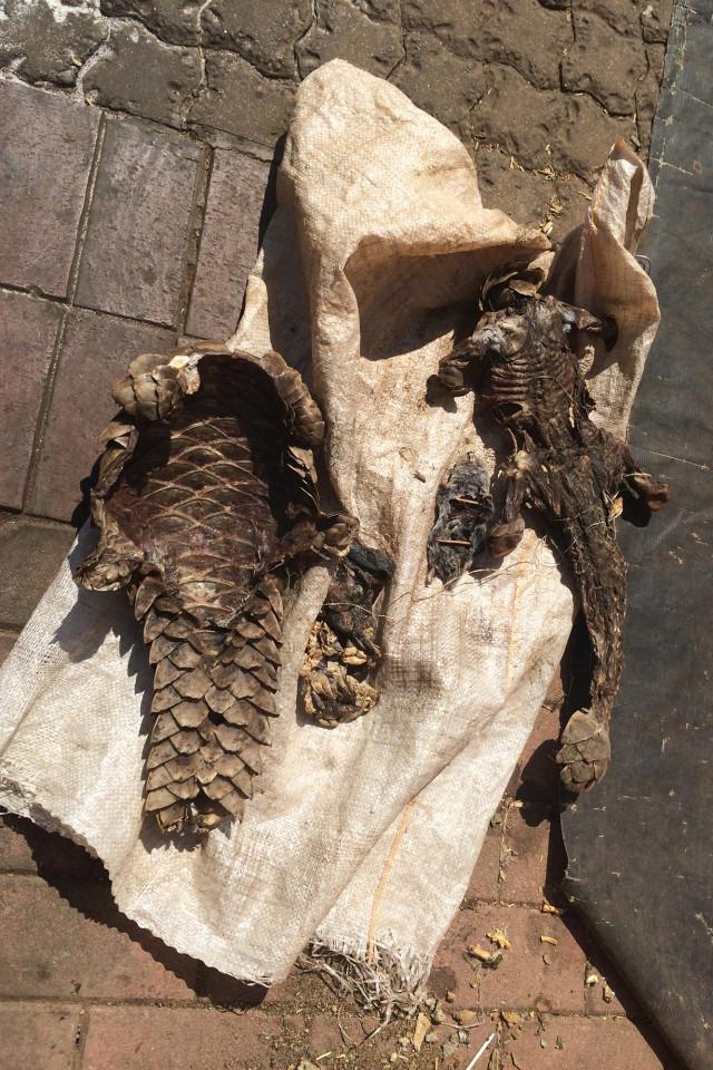 可爱的穿山甲是世界上最常被贩卖的动物
