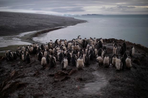 南极洲帽带企鹅数量下降超过75%