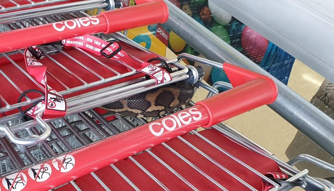 澳大利亚妇女发现一条藏在超市手推车里的蛇