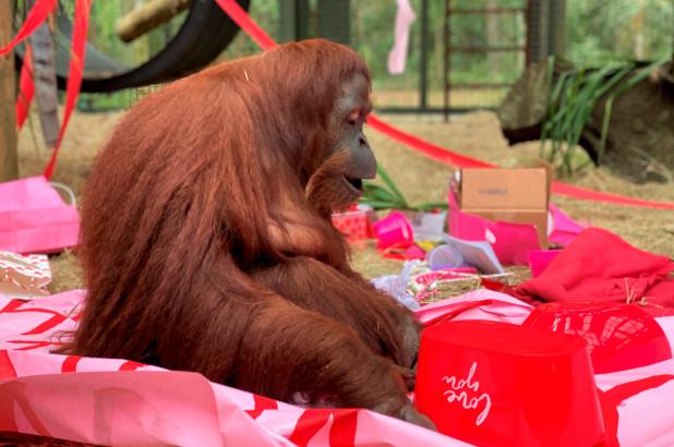 """被赋予""""人格""""的猩猩庆祝34岁生日"""