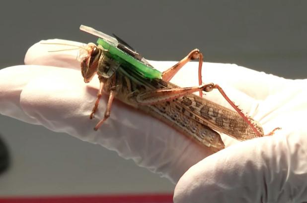 科学家让蝗虫嗅出炸弹和爆炸物