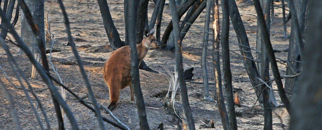 澳大利亞可怕的野火摧毀了五分之一的森林
