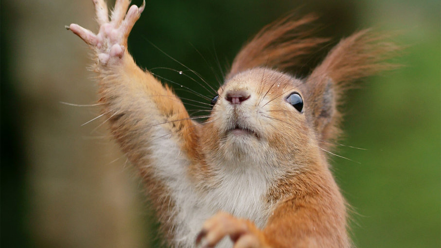 松鼠更喜欢用哪个爪子?