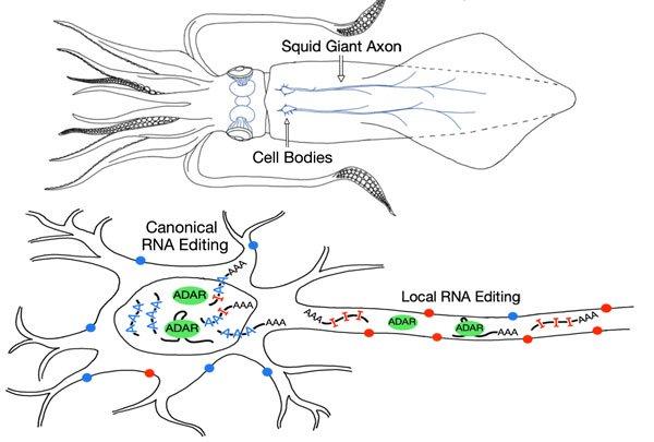 鱿鱼能以前所未有的方式编辑它们的RNA