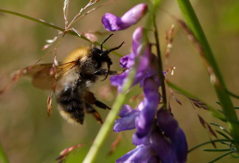 大黄蜂能诱使植物提早开花