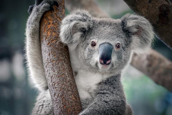 考拉將在30年內在澳大利亞地區滅絕