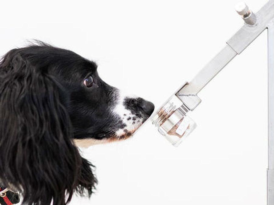 狗狗可以嗅出新冠病毒?