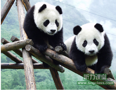 cctv9英语新闻2011年01月:可爱大熊猫,推进中美友好关系