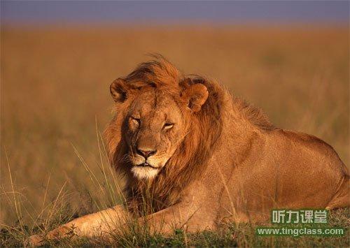 生病的狮子 the sick lion