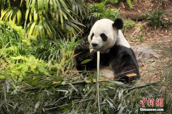 """新冠疫情导致竹子短缺,旅加大熊猫""""大毛""""""""二顺""""提前回家"""