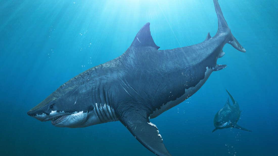巨齿鲨的幼崽比成年人类还要大