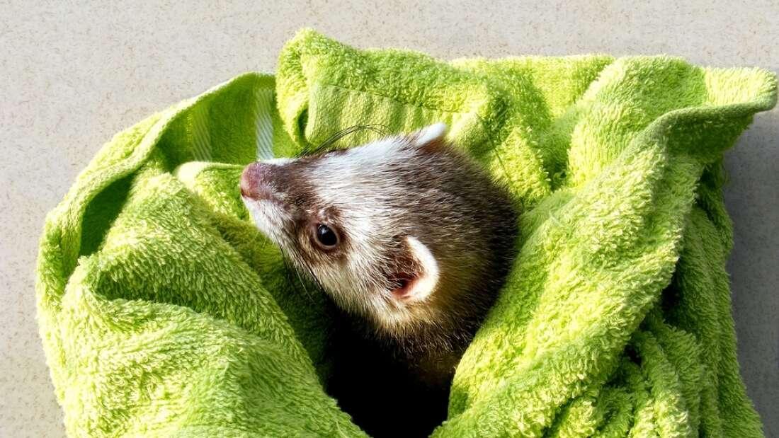 溜进洗衣机100分钟循环的宠物鼬鼠奇迹般地恢复了